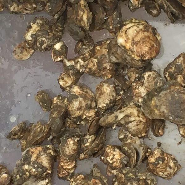 CB_Oysters